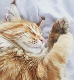 Orange Tabby Cat on White Fabric Bed Cover Royalty Free Stock Photos