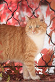 Ginger cat and autumn leaves. Orange tabby ginger cat portrait in front of red autumn leaves Stock Photo