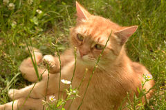 Orange Tabby in Grass. Masculine orange tabby lying in the grass, looking at the camera stock photos