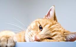 Orange Tabby-Katze Lizenzfreies Stockbild