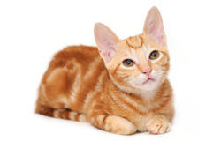 Orange tabby kitten Stock Photography