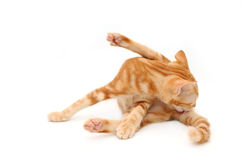 Orange tabby kitten Royalty Free Stock Images