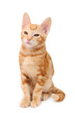 Orange tabby kitten Royalty Free Stock Photography
