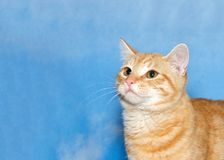 Orange tabby kitten looking up to viewers left Royalty Free Stock Images