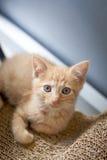 Orange tabby kitten Stock Images