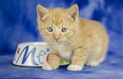 Orange Tabby Kitten på blå bakgrund arkivbilder