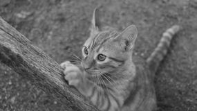 Orange tabby kitten sharpening her fingernails on a wood. Photograph taken in black and white Stock Photo