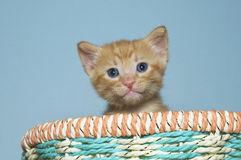 Orange tabby kitten 4 weeks old sitting in multi colored spring Royalty Free Stock Images