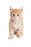 Orange tabby kitty sitting looking forward Royalty Free Stock Photography
