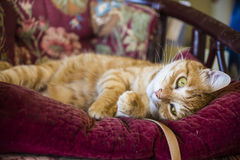 Orange tabby male cat lying on an antique chair Royalty Free Stock Images