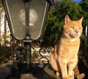 Orange tabby male cat portrait Royalty Free Stock Image