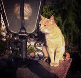 Orange tabby male cat portrait Stock Images