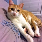 Orange Tabby On Pillow. Image of a orange and white tabby cat laying on a pillow Stock Photos