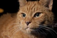 Orange Tabby Portrait Stockfotos