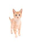 Orange Tabby Standing Lizenzfreie Stockbilder