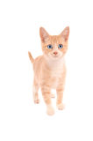 Orange Tabby Standing Royalty Free Stock Images