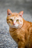 Orange Tabby. Orange striped stray cat with amber eyes poses for the camera Stock Image