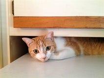 Orange Tabby Under a Cupboard. An orange tabby cat hiding under a cupboard Royalty Free Stock Image