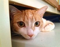 Orange Tabby Under a Cupboard Closeup. An orange tabby cat hiding under a cupboard Stock Images
