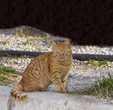 Orange Tabby - Yellow Cat Royalty Free Stock Photography