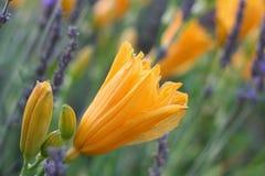 Orange Tageslilien auf dem Lavendel-Gebiet des Lavendels stockfoto