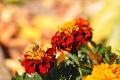 orange tagetes Royaltyfri Bild
