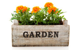 Orange Tagetes. In garden crate isolated over white Stock Photography