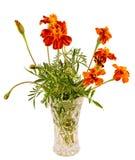 Orange Tagetes blüht in einem transparenten Vase, Abschluss oben Stockfotografie
