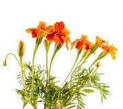 Orange Tagetes-Blumen, Abschluss oben Lizenzfreie Stockfotografie