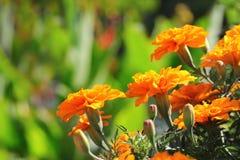 Orange tagetes Stock Photography