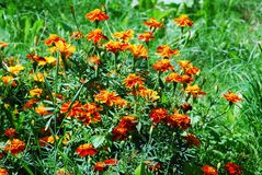 Orange Tagetes flower (marigold) in the green grass. Field Royalty Free Stock Photo