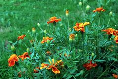 Orange Tagetes flower (marigold) in the green grass. Field Stock Photos