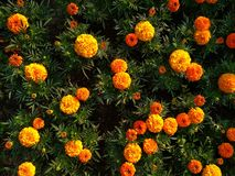 Orange tagetes. Flowers from above royalty free stock photography