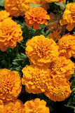 Orange tagetes Royalty Free Stock Image