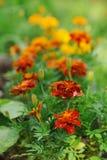 Orange tagetes marigolds growing in sunny summer garden Royalty Free Stock Photos