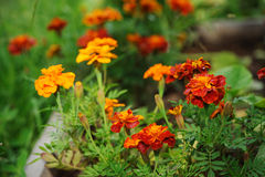 Orange tagetes marigolds growing in sunny summer garden Royalty Free Stock Photography