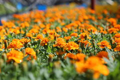 Orange Tagetes Patula Lizenzfreies Stockfoto
