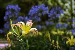 Orange Taglilie auf einem Hintergrund der blauen afrikanischen Lilie Lizenzfreie Stockfotos