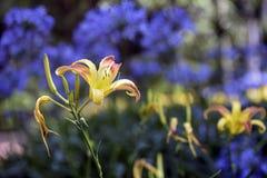Orange Taglilie auf einem Hintergrund der blauen afrikanischen Lilie Stockfoto