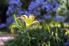 Orange Taglilie auf einem Hintergrund der blauen afrikanischen Lilie Lizenzfreie Stockfotografie