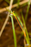 Orange-tailed Sprite - Portrait of damselfly. Portrait of damselfly - Orange-tailed Sprite Stock Images