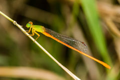 Orange-tailed Sprite - Portrait of damselfly. Portrait of damselfly - Orange-tailed Sprite royalty free stock photography