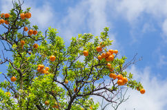 Orange tangerine branch on a tree in a sunny day Stock Photo