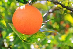 Orange tangerine tree fruits green leaves Stock Photos