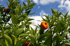 Orange Tangerinefrucht auf einem Baum Stockfotos
