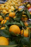 Orange tangerines on the branches royalty free stock images