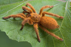 Orange tarantula Stock Photos