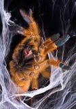 Orange Tarantula displaying fangs Stock Photos