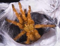 Orange Tarantula in web Royalty Free Stock Images