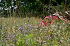 Orange tent in clearing partially hidden by tall grass and a profusion of wildflowers. Bunsby Islands, British Columbia royalty free stock photography